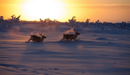 Harriniva Hotels & Safaris Winter 24 Credit Antti Pietikainen resized