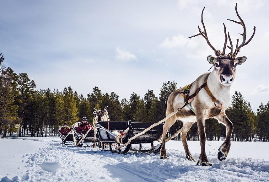 Harriniva Hotels Safaris Reindeer 9 2