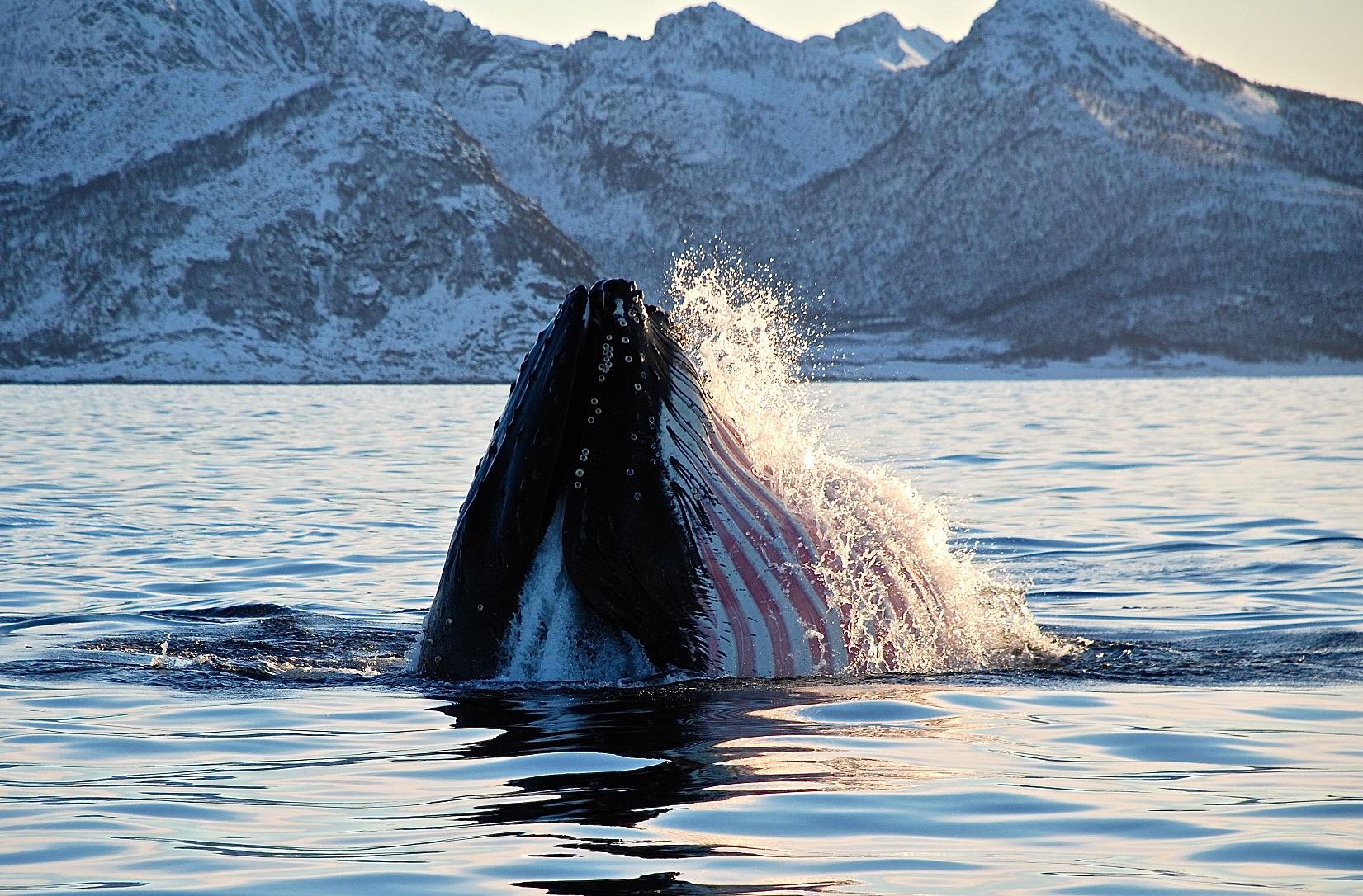 Humpback whale off the coast of Senja Hamn i Senja 2
