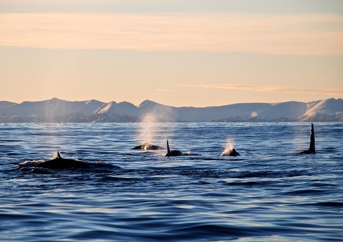 Killer whales outside Hamn i Senja 2