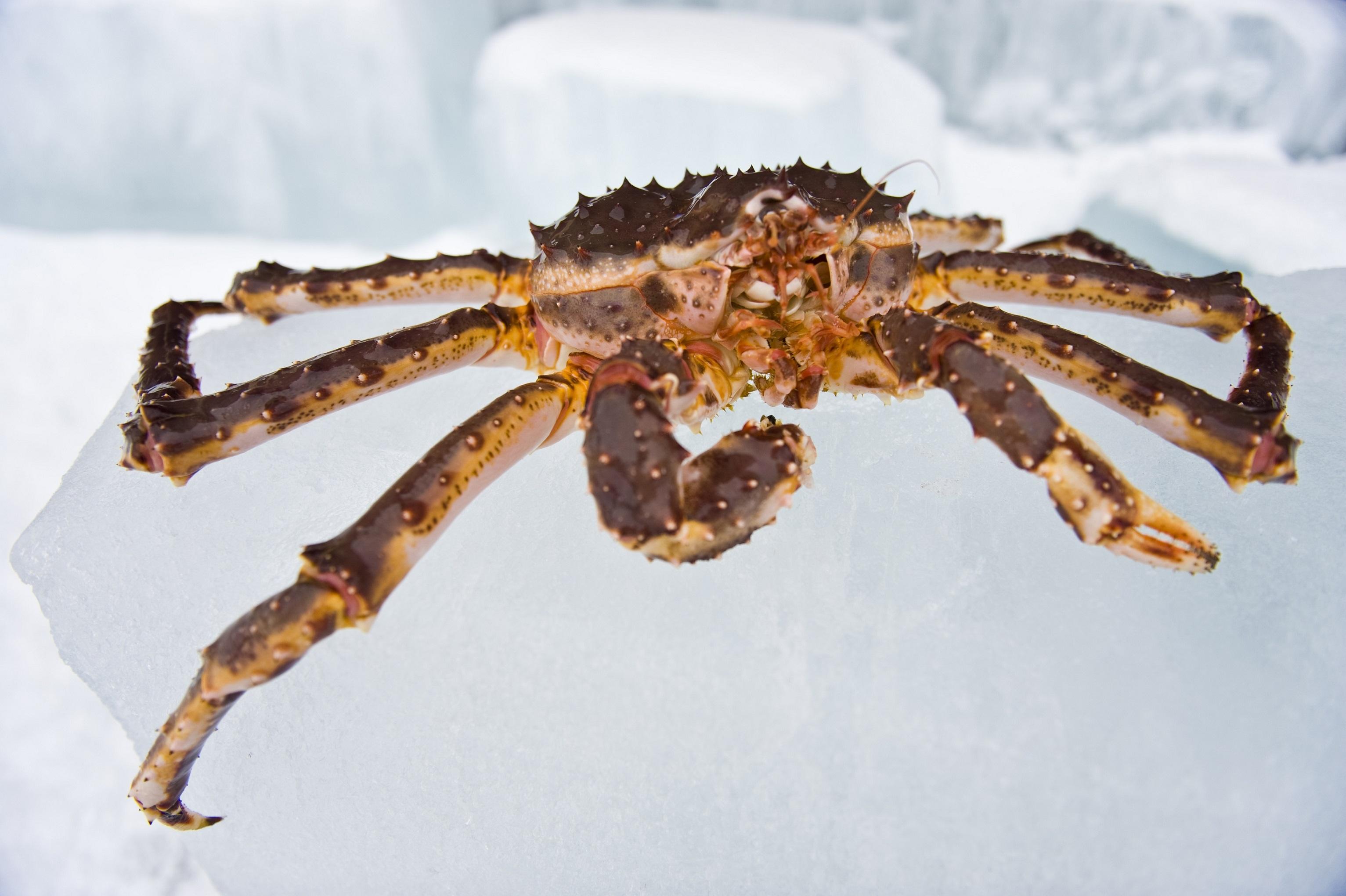 King Crab Kirkenes Credit Terje Rakke Nordic Life Visitnorway 2