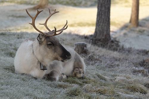 Rovaniemi Reindeer Credit Arto Kuorikoski and Visit Finland