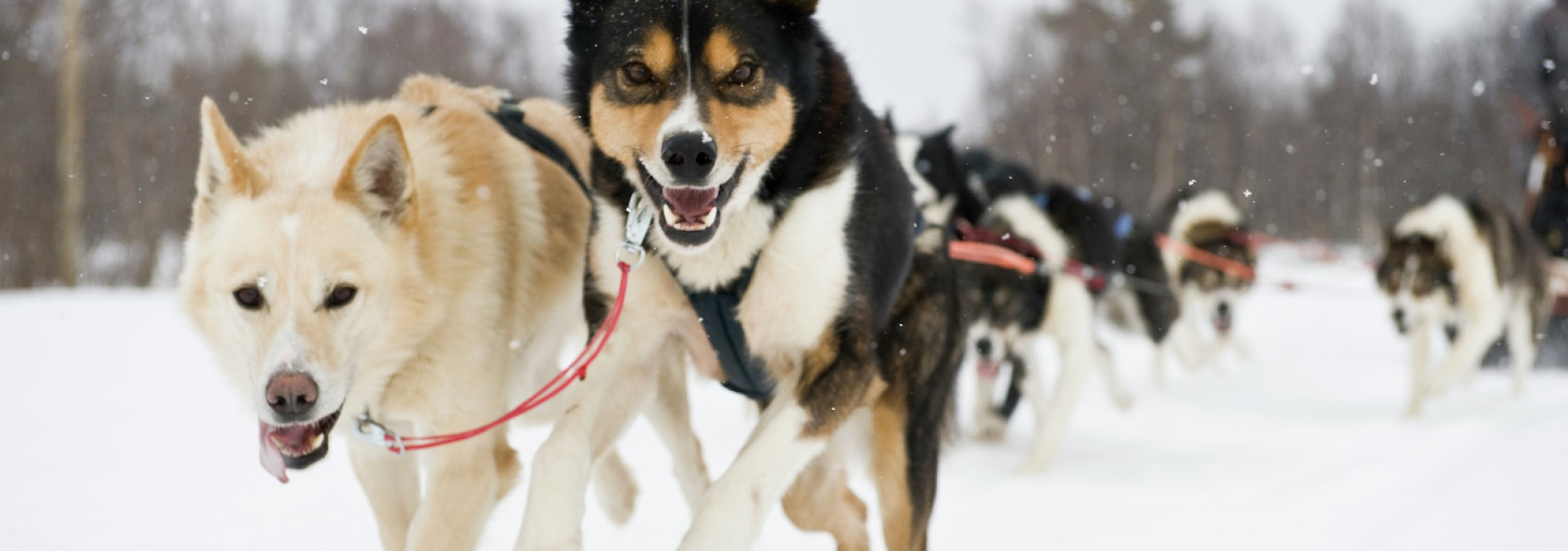 Huskies Terje RakkeNordic Life - Credit Visitnorway.com & Innovation Norway